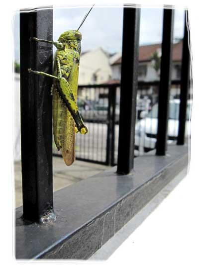 mr. grasshopper