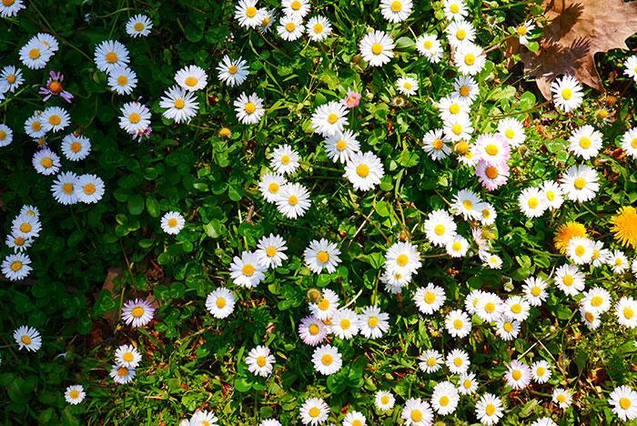 bologna-italy-3 daisies